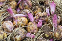 Achtergrond van Bloembollen met ontspruitende purpere lelie Stock Afbeeldingen