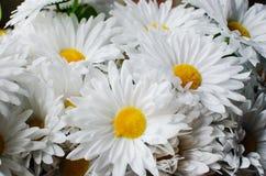 Achtergrond van bloemen, matricaria royalty-vrije stock fotografie