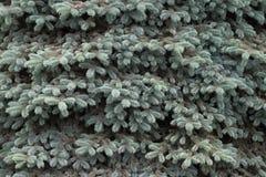 Achtergrond van bont-boom takken Royalty-vrije Stock Foto's