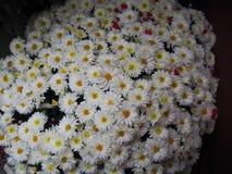 Achtergrond van close-up de witte bloemen Royalty-vrije Stock Afbeeldingen