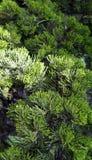 Achtergrond van de de bladerentextuur van Bush de groene royalty-vrije stock afbeeldingen