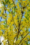 Achtergrond van de gele de lentebloemen van de forsythia royalty-vrije stock foto's