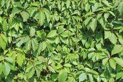 Achtergrond van de groene druiven van het bladerenmeisje Royalty-vrije Stock Foto
