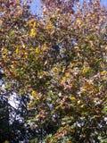 Achtergrond van de herfst de gele en groene bladeren op boom Stock Foto