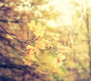 Achtergrond van de herfstbladeren, esdoorn Stock Foto