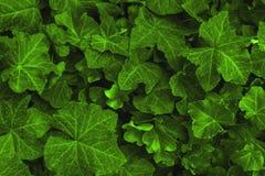 Achtergrond van de verse groene kleur die van klimopbladeren gestemde Chartreuse wordt gemaakt Groene dynamische achtergrond stock foto's