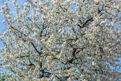 Achtergrond van de witte bloemen van een kersenboom royalty-vrije stock foto's