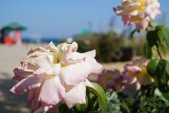 Achtergrond van de zomer de bloemenrozen royalty-vrije stock afbeelding