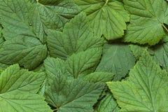 Achtergrond van de zwarte huidige bladeren Stock Foto