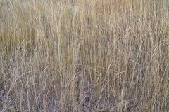 Achtergrond van droog lang gras royalty-vrije stock fotografie