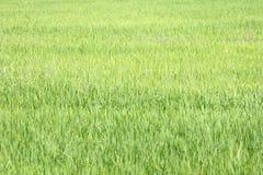 Achtergrond van een groen gras Groene grastextuur Stock Fotografie
