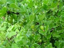 Achtergrond van een tak van een jong groen niet rijp sappig kruisbessenclose-up stock foto's