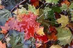 Achtergrond van esdoornbladeren Royalty-vrije Stock Afbeeldingen