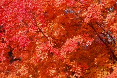 Achtergrond van esdoornbladeren in de herfst Stock Foto