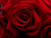 Achtergrond van fijne rode rozen. Stock Foto's
