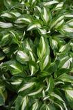 Achtergrond van van funkiya golvende Hosta van bladerengastheren undulata Otto et Dietr Vestingmuur, rangen van Univittata stock foto