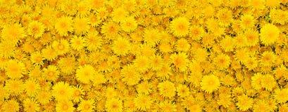 Achtergrond van gele bloemen Stock Afbeeldingen