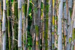 Achtergrond van grijze stelen en groene bladeren van bamboebomen royalty-vrije stock foto's