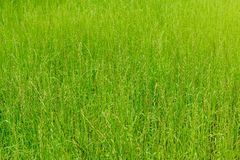 Achtergrond van groen gras, textuur Stock Afbeeldingen