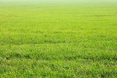 Achtergrond van groen gras, textuur van gebied De ZOMERlandschap Stock Fotografie