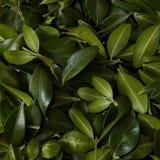 Achtergrond van groene bladeren Stock Foto's