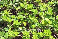 Achtergrond van groene bladerenhaag Royalty-vrije Stock Fotografie