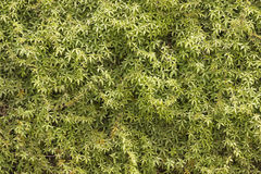 Achtergrond van groene en gele bladeren Stock Afbeelding