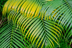 Achtergrond van groene en gele palmbladen Royalty-vrije Stock Foto's