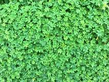 Achtergrond van groene klaverklaver Stock Afbeeldingen