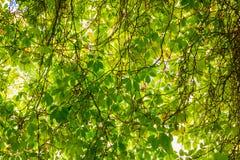 Achtergrond van groene wijnstok stock afbeelding