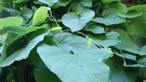 Achtergrond van het blad van Aristolochia Macrophilla zoals groen hart stock afbeeldingen