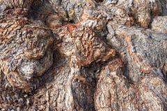 Achtergrond van het geknoopte hout van de peperboom schors Stock Afbeeldingen