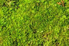 Achtergrond van het groene mos stock afbeelding
