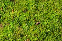 Achtergrond van het groene mos stock foto's