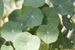 Achtergrond van het grote groene blad. Royalty-vrije Stock Afbeeldingen