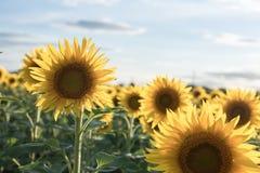 Achtergrond van het mooie zonnebloemengebied Gebied van bloeiende zonnebloemen op een achtergrondzonsondergang Warme avond backli stock foto