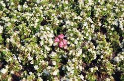 Achtergrond van het wit van de bloemenbegonia Royalty-vrije Stock Afbeeldingen