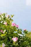 Achtergrond van hond-rozen Stock Foto's