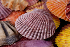 Achtergrond van inzameling van diverse kleurrijke zeeschelpen Stock Afbeeldingen