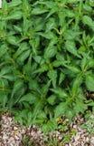 Achtergrond van jonge groene spruiten van netel royalty-vrije stock foto's