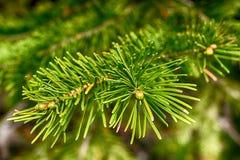 Achtergrond van Kerstboomtakken Stock Foto