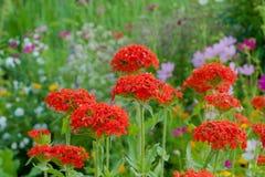Achtergrond van kleine rode bloemen Stock Afbeelding