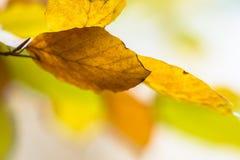 Achtergrond van kleurrijke de Herfstbladeren van Beuk Stock Foto