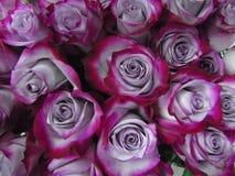 Achtergrond van lilac en karmozijnrood rozenclose-up Stock Foto's