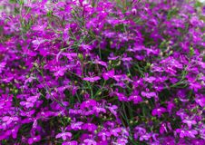 Achtergrond van lobelia het heldere roze kleur hangen in een bloempot royalty-vrije stock foto's