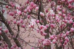 Achtergrond van magnolia's in de lente stock afbeelding