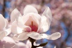 Achtergrond van magnoliabloemen stock afbeeldingen