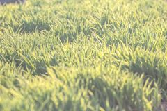 Achtergrond van natuurlijk nieuw groen gazon Royalty-vrije Stock Afbeelding