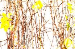 Achtergrond van natuurlijke takken van klimplanten met gele bladeren op een witte muur Het de herfstdecor, sluit omhoog, stock foto's