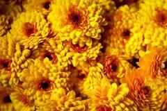 Achtergrond van oranje bloesems, Chrysant royalty-vrije stock foto